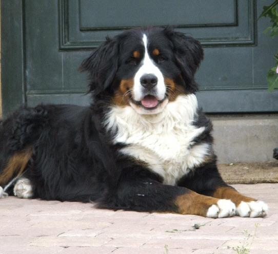 Lieblings Berner Sennenhunde von der Frankenhöhe @UF_54